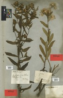 Syntype of Pluchea oblongifolia DC. [family COMPOSITAE]
