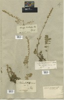 Filed as Artemisia laciniata Willd. [family COMPOSITAE]