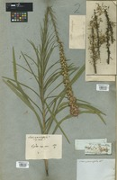 Filed as Liatris graminifolia Willd. [family COMPOSITAE]