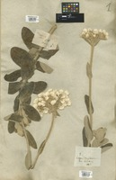 Filed as Helichrysum fruticans (L.) D. Don [family COMPOSITAE]