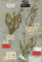 Holotype of Helichrysum striatum (Thunb.) Willd. var. subflavescens DC. [family COMPOSITAE]