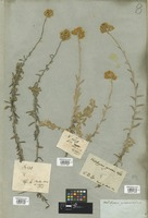 Filed as Helichrysum cymosum (L.) G. Don [family COMPOSITAE]