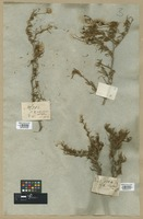 Filed as Diplopappus filifolius (Vent.) DC. [family COMPOSITAE]