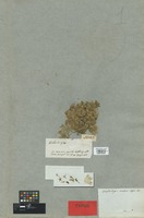 Holotype of Wahlenbergia montana A. DC. [family CAMPANULACEAE]