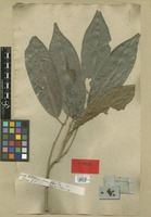 Syntype of Antidesma coriaceum Tul. [family EUPHORBIACEAE]