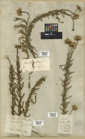 Filed as Inula crithmoides L. [family COMPOSITAE]