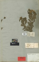 Holotype of Pluchea scabrida DC. [family COMPOSITAE]