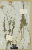 Filed as Anthemis rigescens Willd. [family COMPOSITAE]