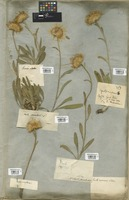 Filed as Inula montana L. [family COMPOSITAE]