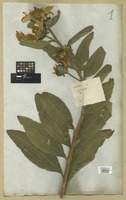 Filed as Tithonia excelsa (Willd.) DC. [family COMPOSITAE]