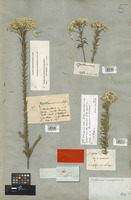 Filed as Ozothamnus diosmifolius (Vent.) DC. [family COMPOSITAE]