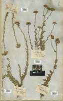 Filed as Tanacetum crataegifolium DC. [family COMPOSITAE]