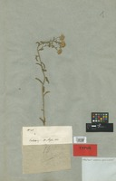 Holotype of Calimeris canescens Nees var. latifolia DC. [family COMPOSITAE]