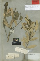 Isotype of Aster viscosus Labill. [family COMPOSITAE]