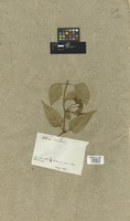 Filed as Salmea scandens (L.) DC. [family COMPOSITAE]