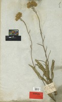 Syntype of Helichrysum nudifolium (L.) Less. var. medium DC. [family COMPOSITAE]