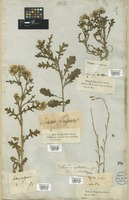 Filed as Senecio vulgaris L. [family COMPOSITAE]