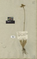 Filed as Hieracium cymosum L. [family COMPOSITAE]