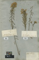 Filed as Diplopappus linariifolius (L.) DC. [family COMPOSITAE]