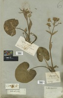 Filed as Nardosmia fragrans (Vill.) Rchb. [family COMPOSITAE]