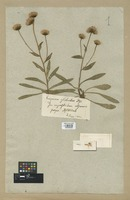 Filed as Erigeron alpinus L. [family COMPOSITAE]