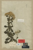 Syntype of Vernonia corymbosa (L. f.) Less. var. mespiloides DC. [family COMPOSITAE]