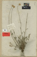 Type of Chrysanthemum turreanum Vis. [family COMPOSITAE]