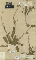 Filed as Dimorphotheca nudicaulis (L.) DC. [family COMPOSITAE]