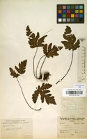 Filed as Tectaria pedata (Desv.) R.M.Tryon & A.F.Tryon [family TECTARIACEAE]