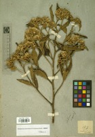 Filed as Unk.asteraceae [family COMPOSITAE]