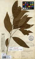 Isolectotype of Nectandra cigua A.Rich. [family LAURACEAE]