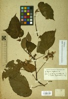 Filed as Unk.begoniaceae [family BEGONIACEAE]