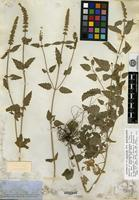 Holotype of Cedronella micrantha A. Gray [family LAMIACEAE]
