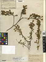 Holotype of Baccharis ramiflora A. Gray var. squarrulosa A. Gray [family ASTERACEAE]