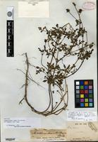 Holotype of Campylotheca remyi Hillebrand [family ASTERACEAE]