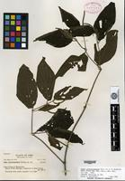 Isotype of Piper cinereoramulum Trelease [family PIPERACEAE SP.]