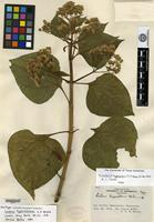 Holotype of Liabum hypochlorum S. F. Blake [family ASTERACEAE]