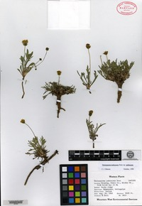 Isotype of Thelesperma pubescens Dorn [family ASTERACEAE]