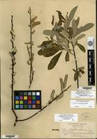 Lectotype of Salix bakeri Seemen [family SALICACEAE]