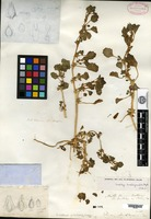 Isotype of Obione suckleyana Torrey [family CHENOPODIACEAE]