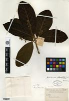 Isotype of Ocotea alloiophylla Rusby [family LAURACEAE]
