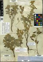 Lectotype of Cassia bauhinioides A. Gray [family CAESALPINIACEAE]