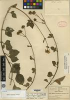 Isotype of Bidens decumbens Greenm. [family ASTERACEAE]
