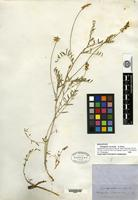 Holotype of Astragalus vaccarum A. Gray [family FABACEAE]