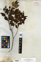 Isotype of Eugenia cinerascens Gardner [family MYRTACEAE]