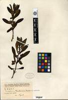 Isotype of Angelonia hassleriana Chodat [family SCROPHULARIACEAE]