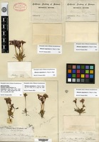 Holotype of Eunanus coulteri Harvey & A. Gray ex Bentham var. angustatus A. Gray [family SCROPHULARIACEAE]