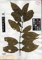 Isotype of Tricalysia biafrana Hiern [family RUBIACEAE]