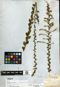 Syntype of Solidago brachyphylla Chapman ex Torrey & A. Gray [family ASTERACEAE]