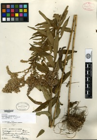 Holotype of Solidago canadensis Linnaeus var. hargeri Fernald [family ASTERACEAE]